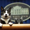 Socks the white house cat