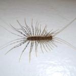 Centipedes!
