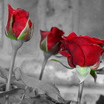 Black and white photos with red roses!