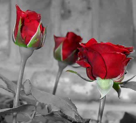Black and white photography red roses